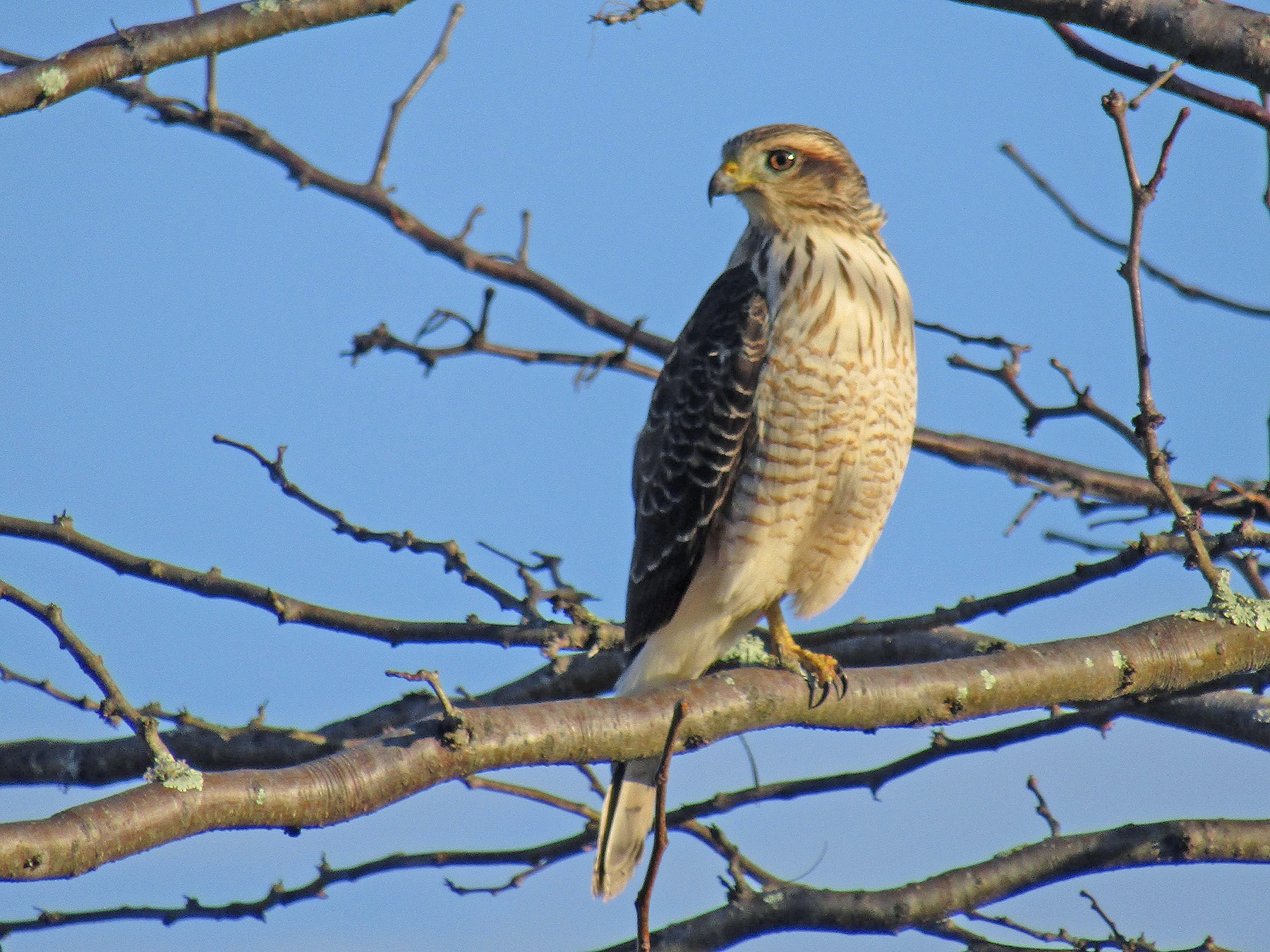 Roadside Hawk - Ezequiel Vera