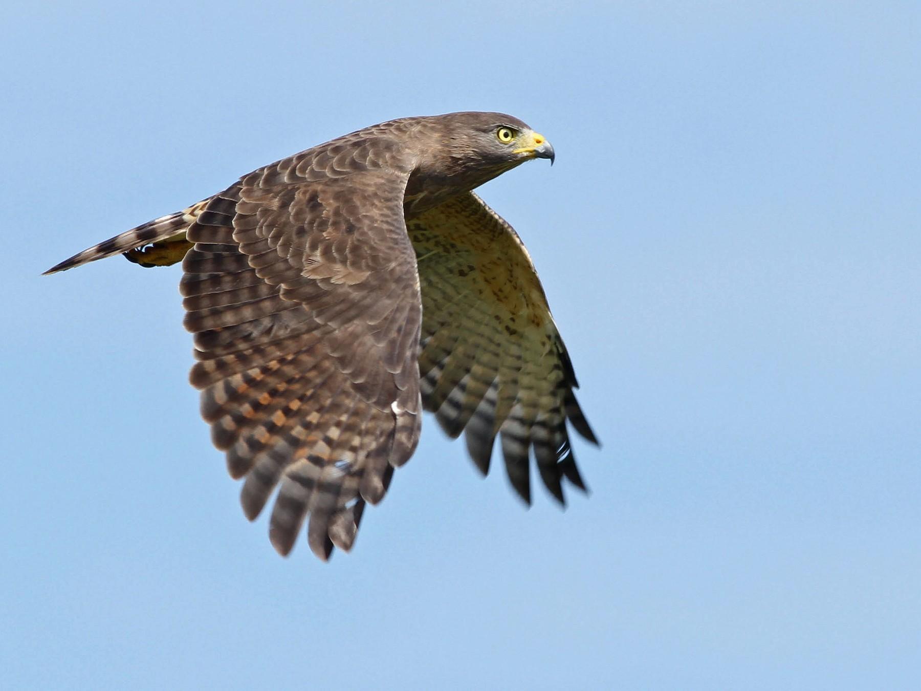 Roadside Hawk - John Garrett