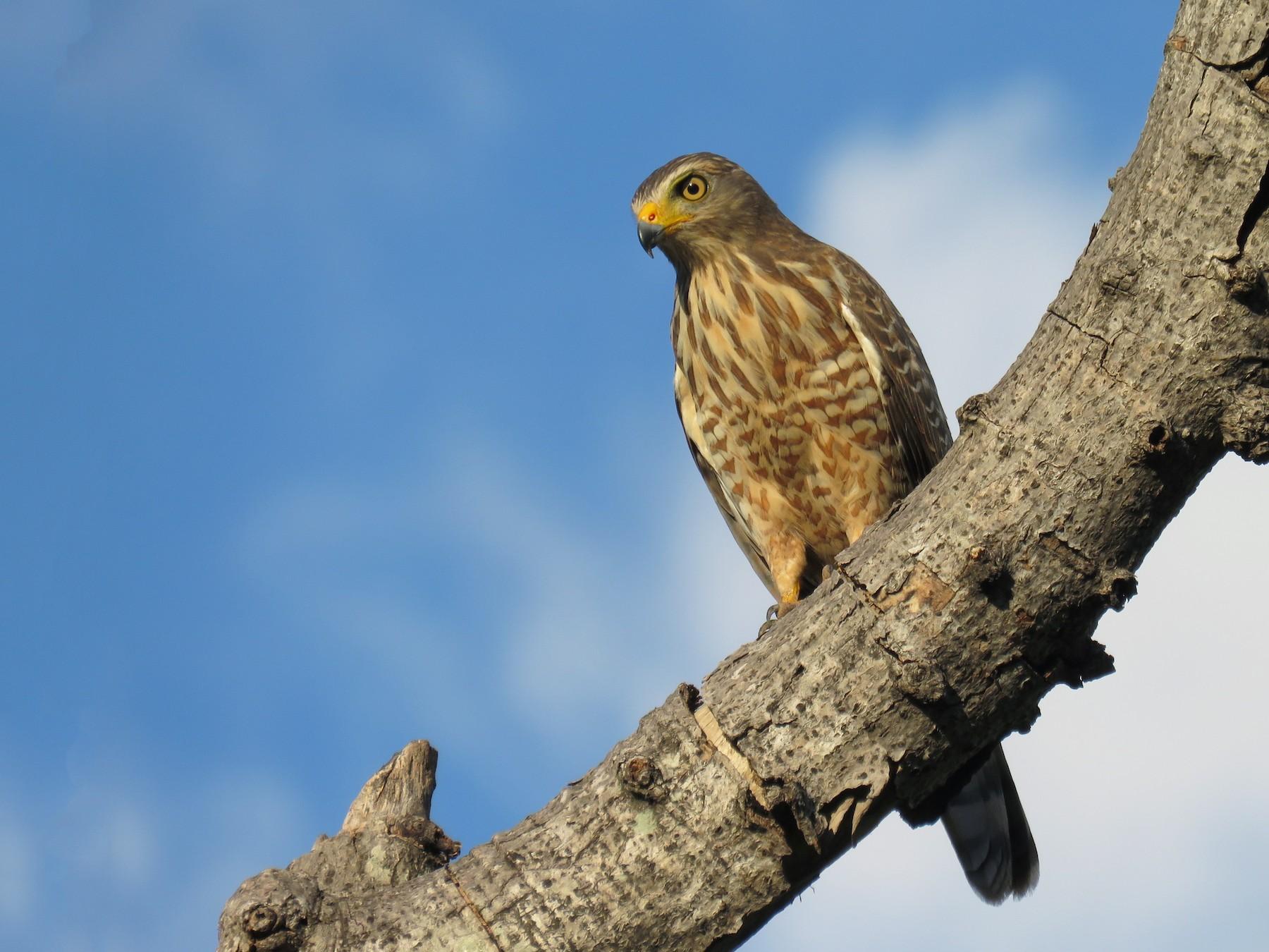 Roadside Hawk - John van Dort
