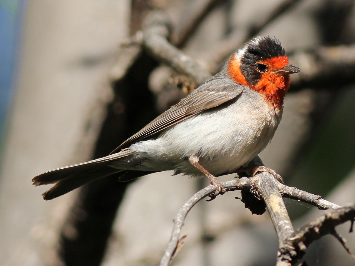 Red-faced Warbler - Jason Leifester