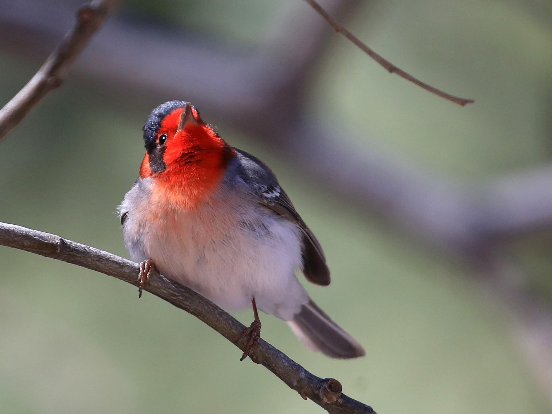 Red-faced Warbler - Tim Lenz