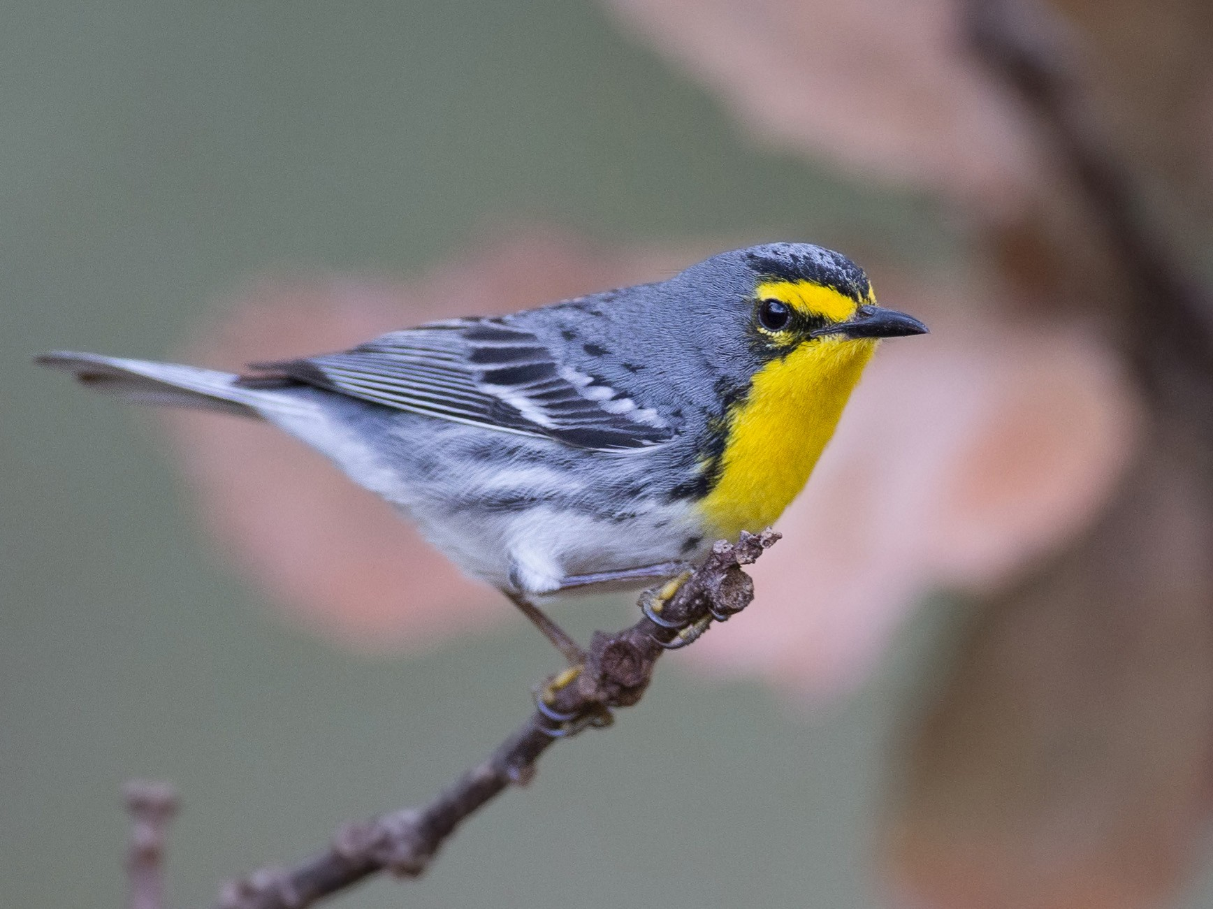 Grace's Warbler - Chris Wood