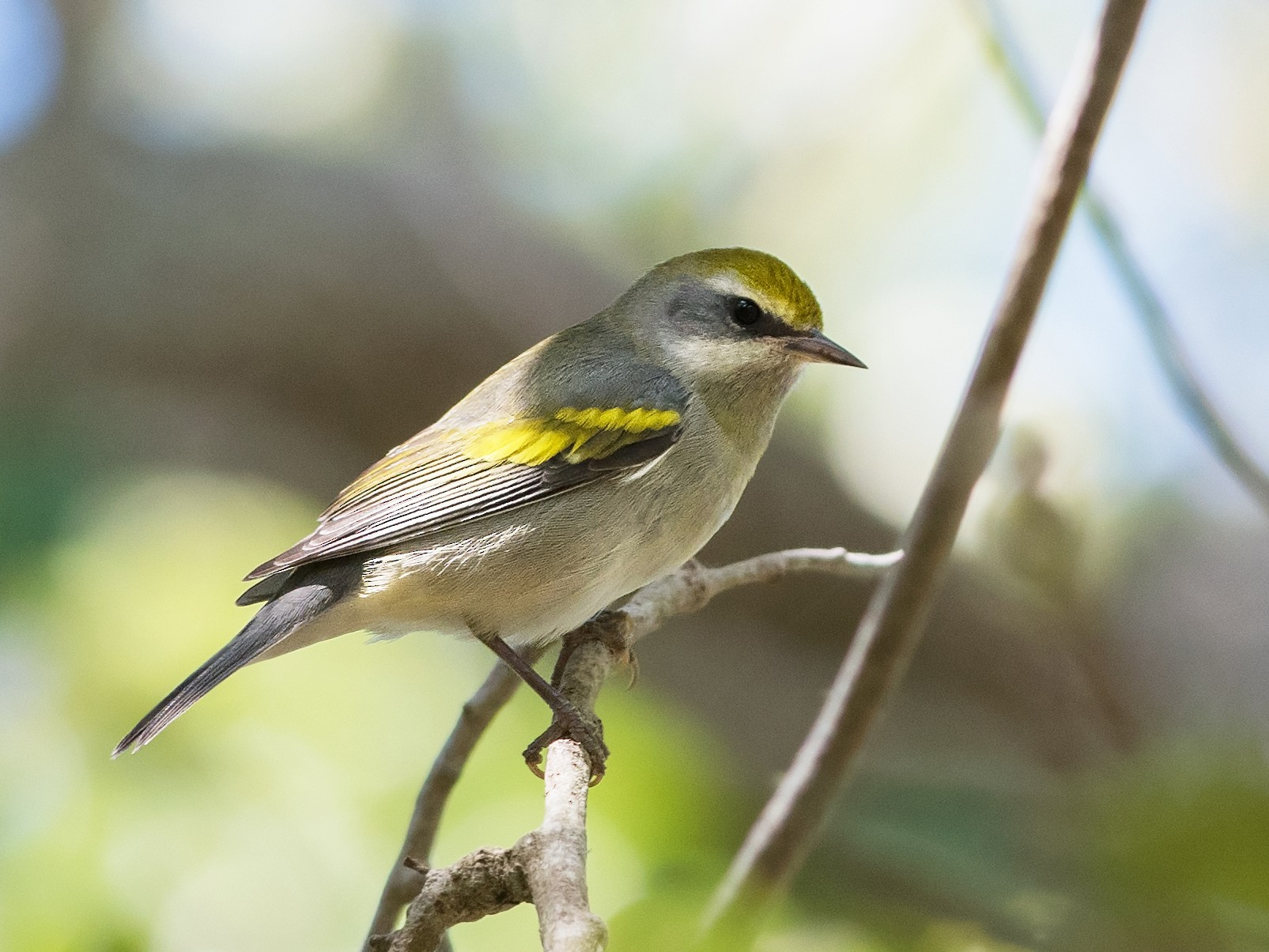 Golden-winged Warbler - Peter Brannon