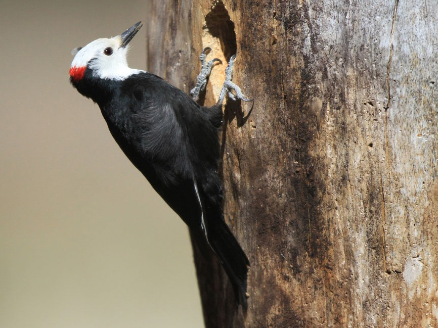 White-headed Woodpecker - Noah Strycker