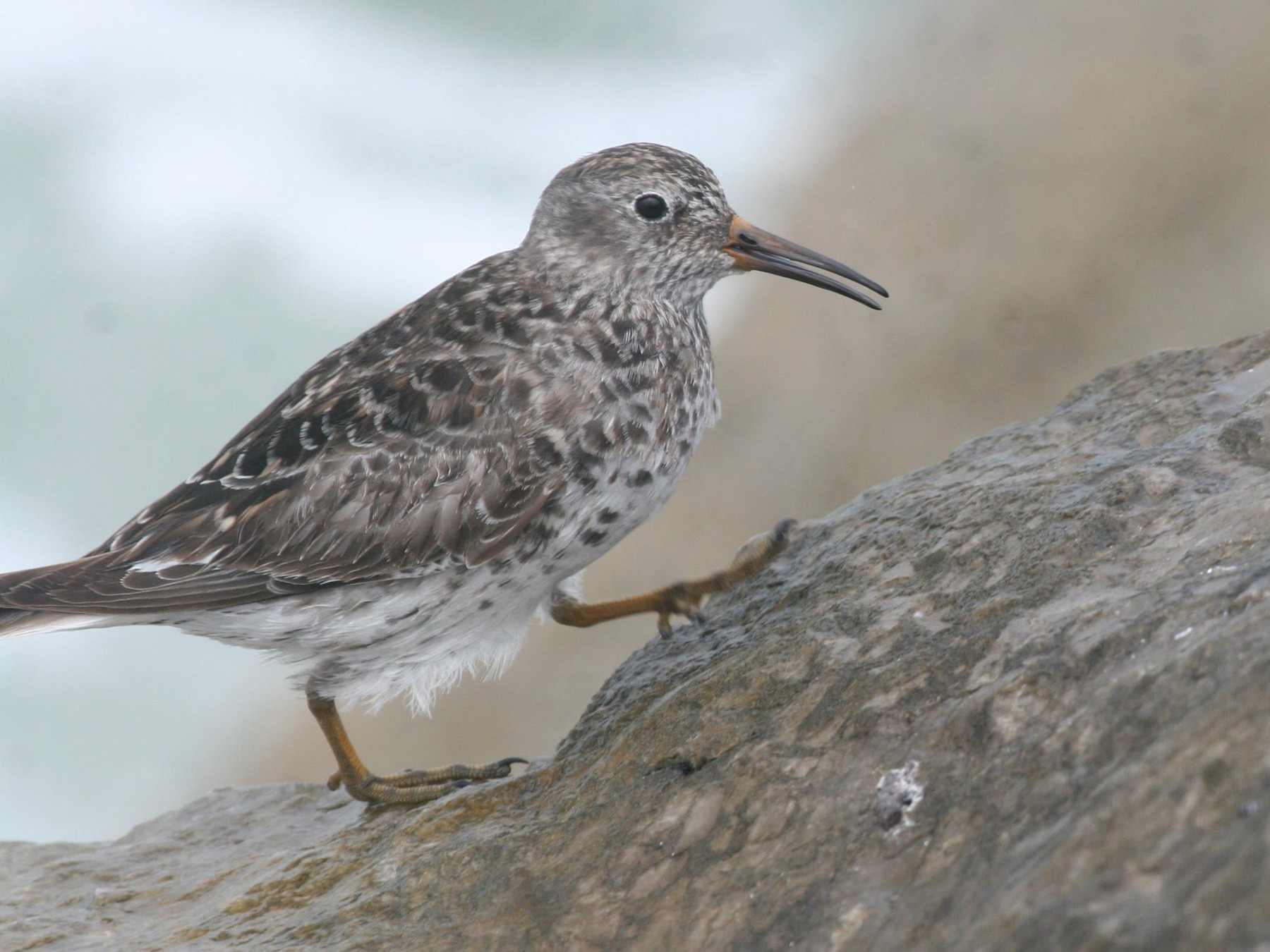 Purple Sandpiper - Ryan Terrill