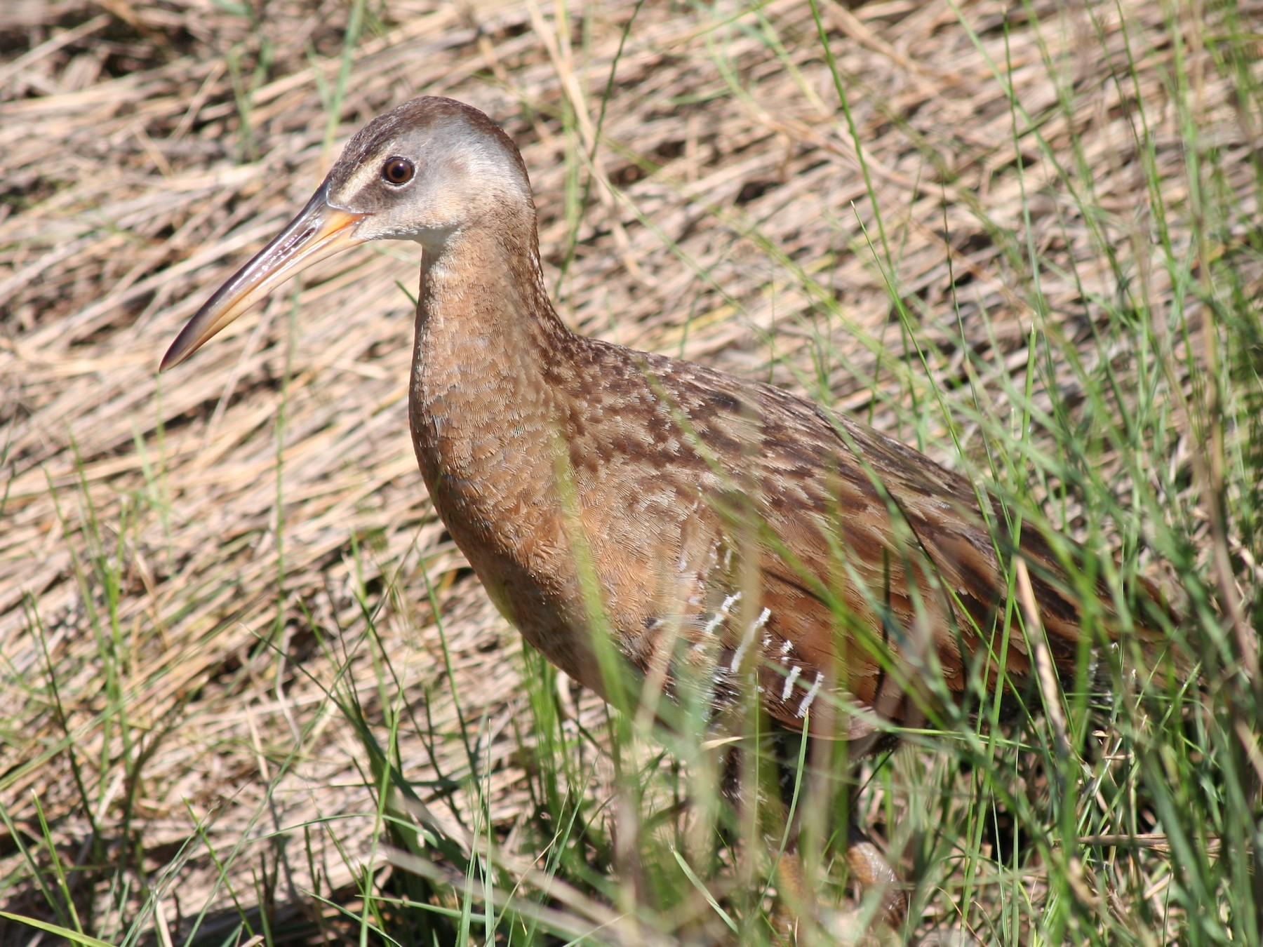 Clapper Rail - Greg Cook