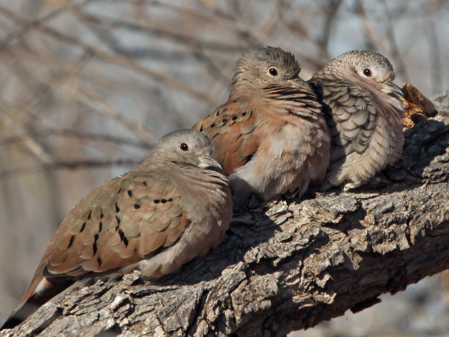 Ruddy Ground Dove - Dick Dionne