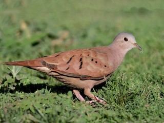 - Ruddy Ground Dove
