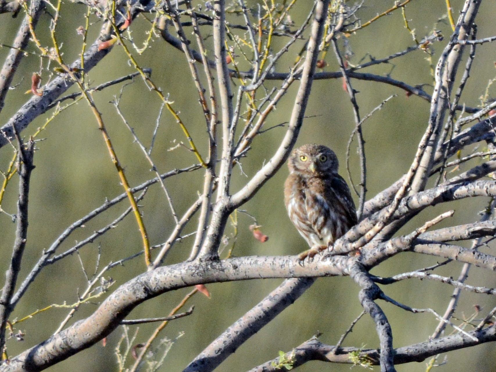 Ferruginous Pygmy-Owl - Walker Noe