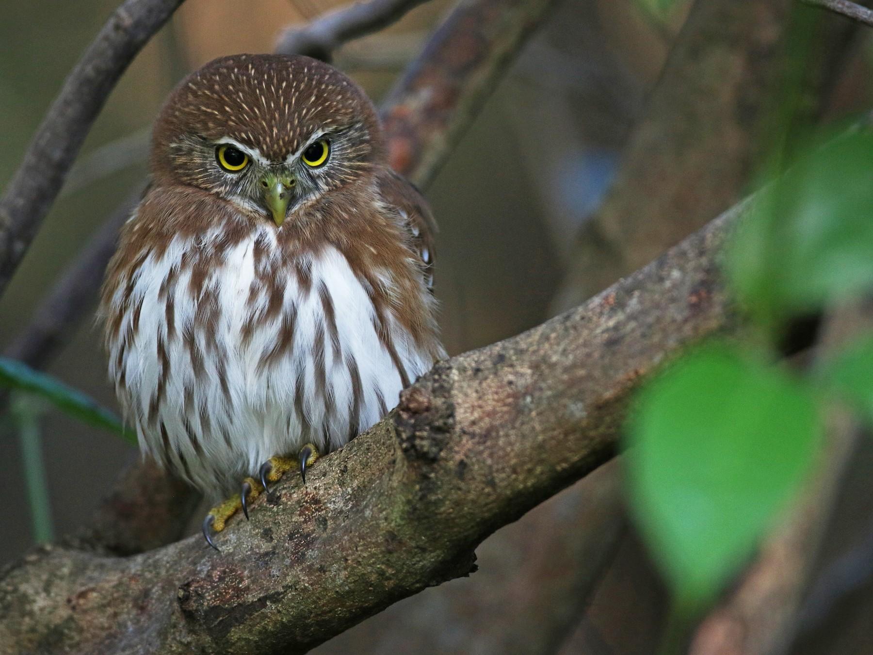Ferruginous Pygmy-Owl - Ian Davies