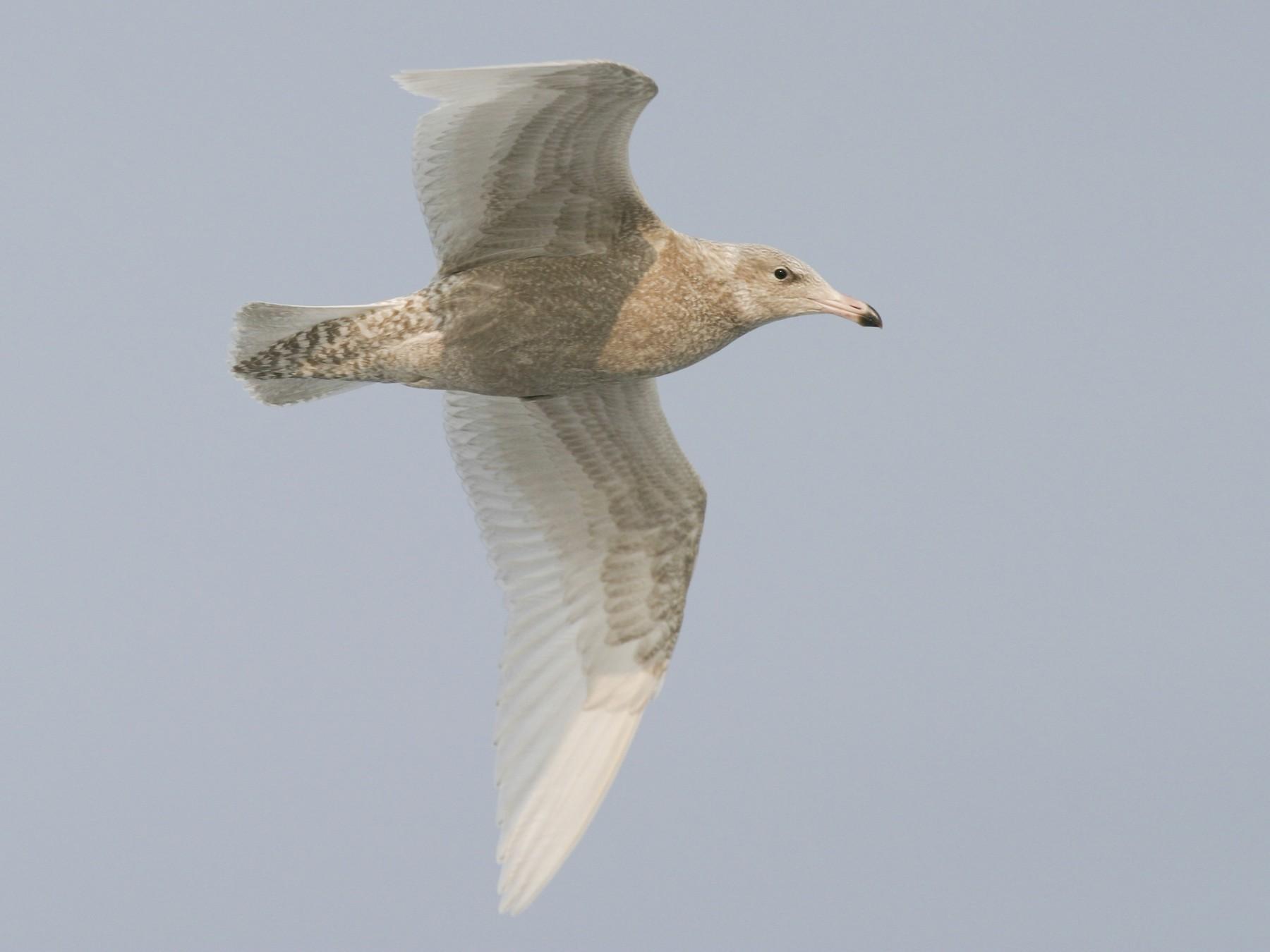 Glaucous Gull - Brian Sullivan