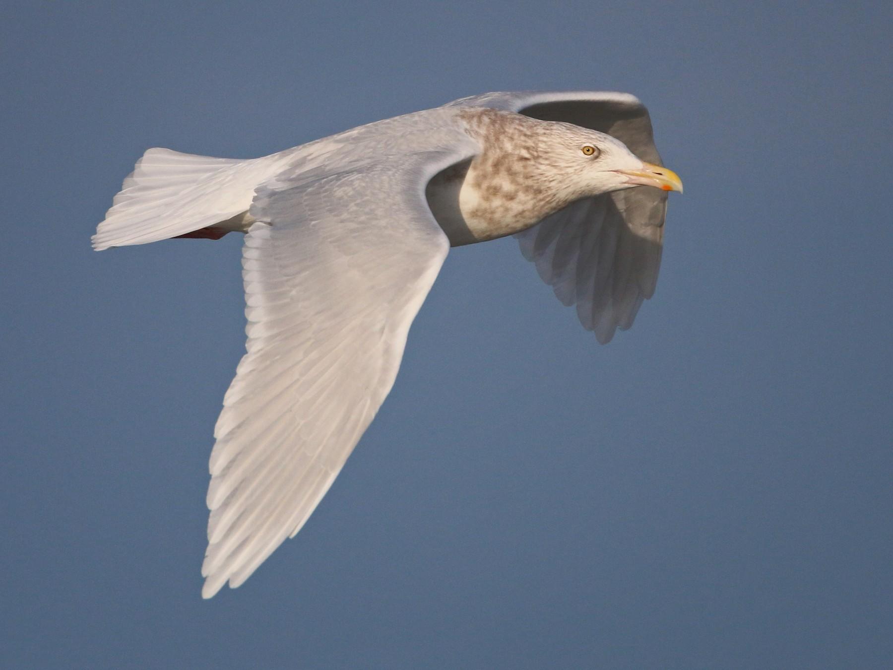 Glaucous Gull - Ian Davies