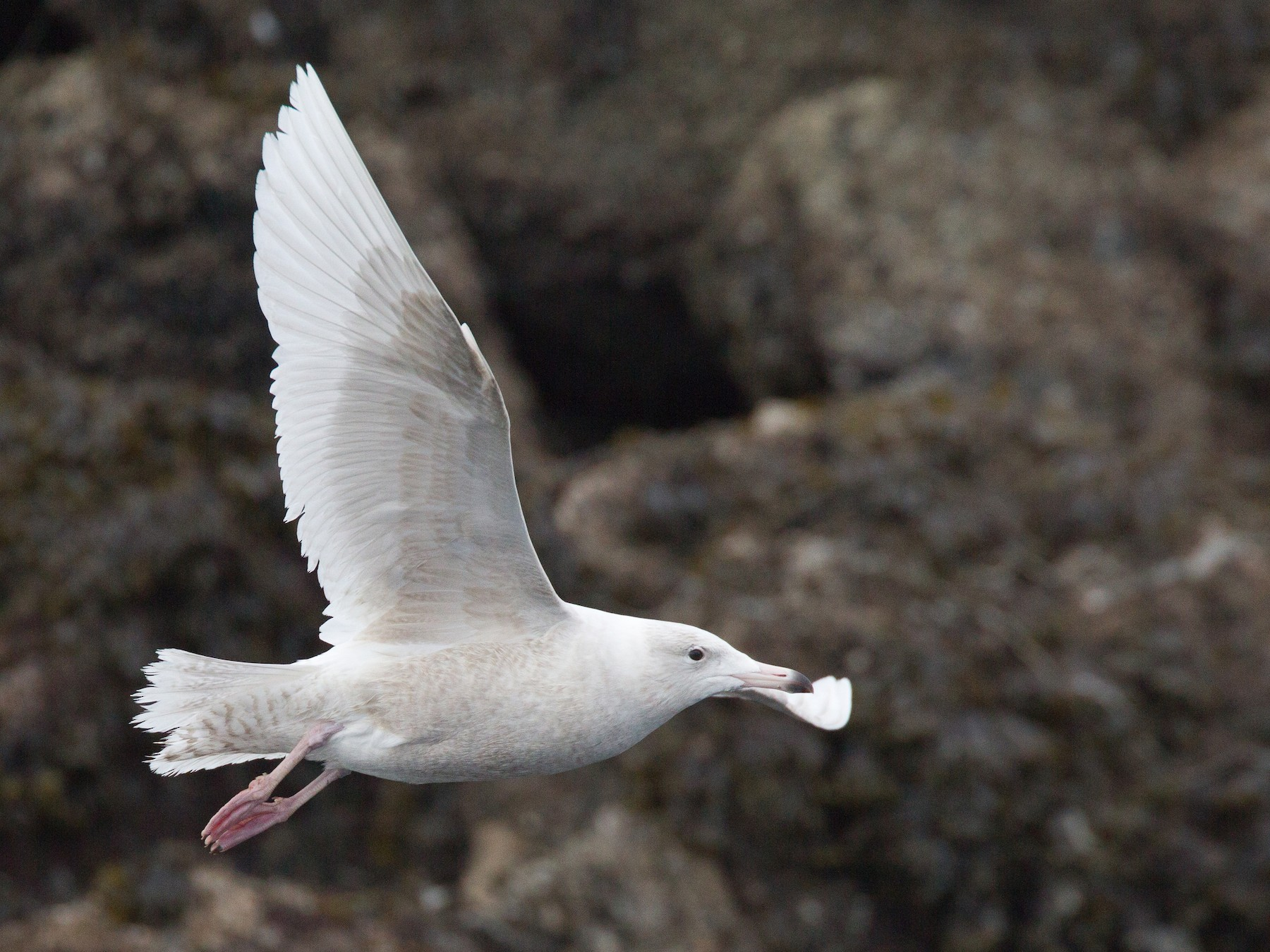 Glaucous Gull - Chris Wood
