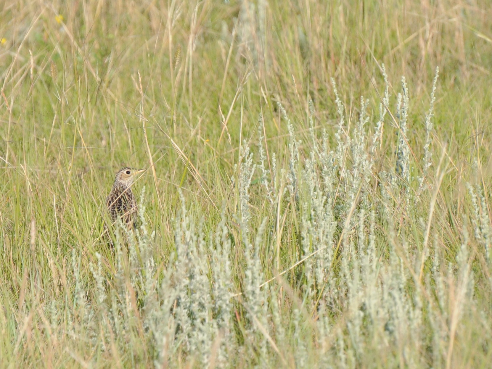 Sprague's Pipit - PC Smith