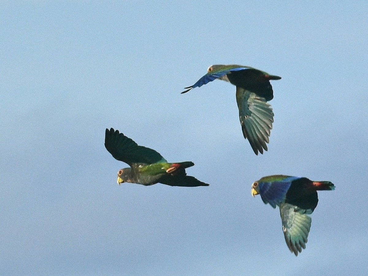White-crowned Parrot - Donel Jensen