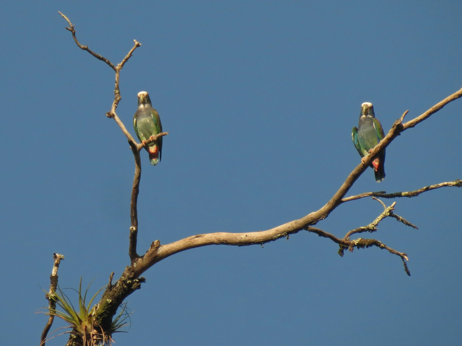 White-crowned Parrot - Nic Zimmer