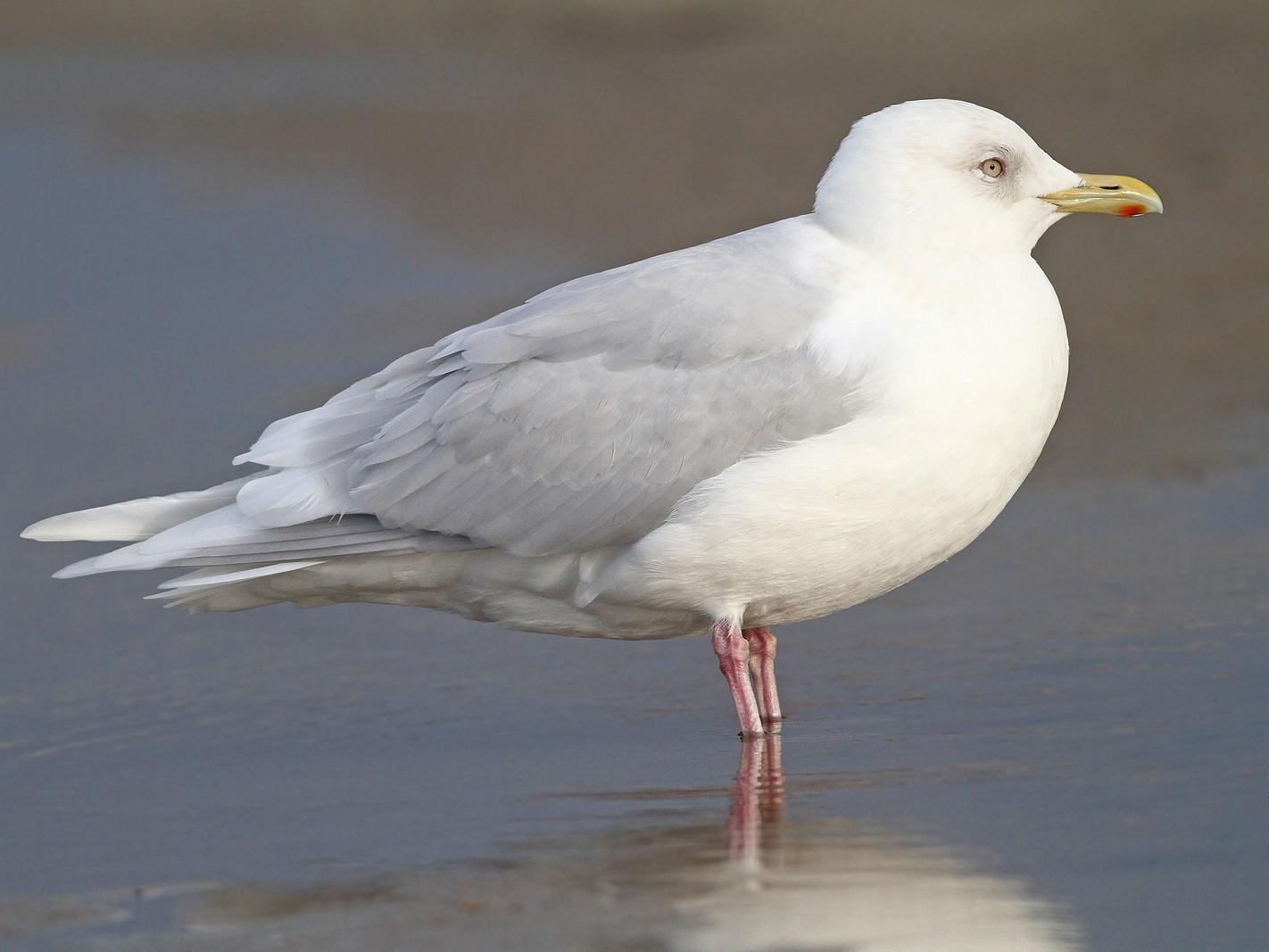 Iceland Gull - Jeremiah Trimble