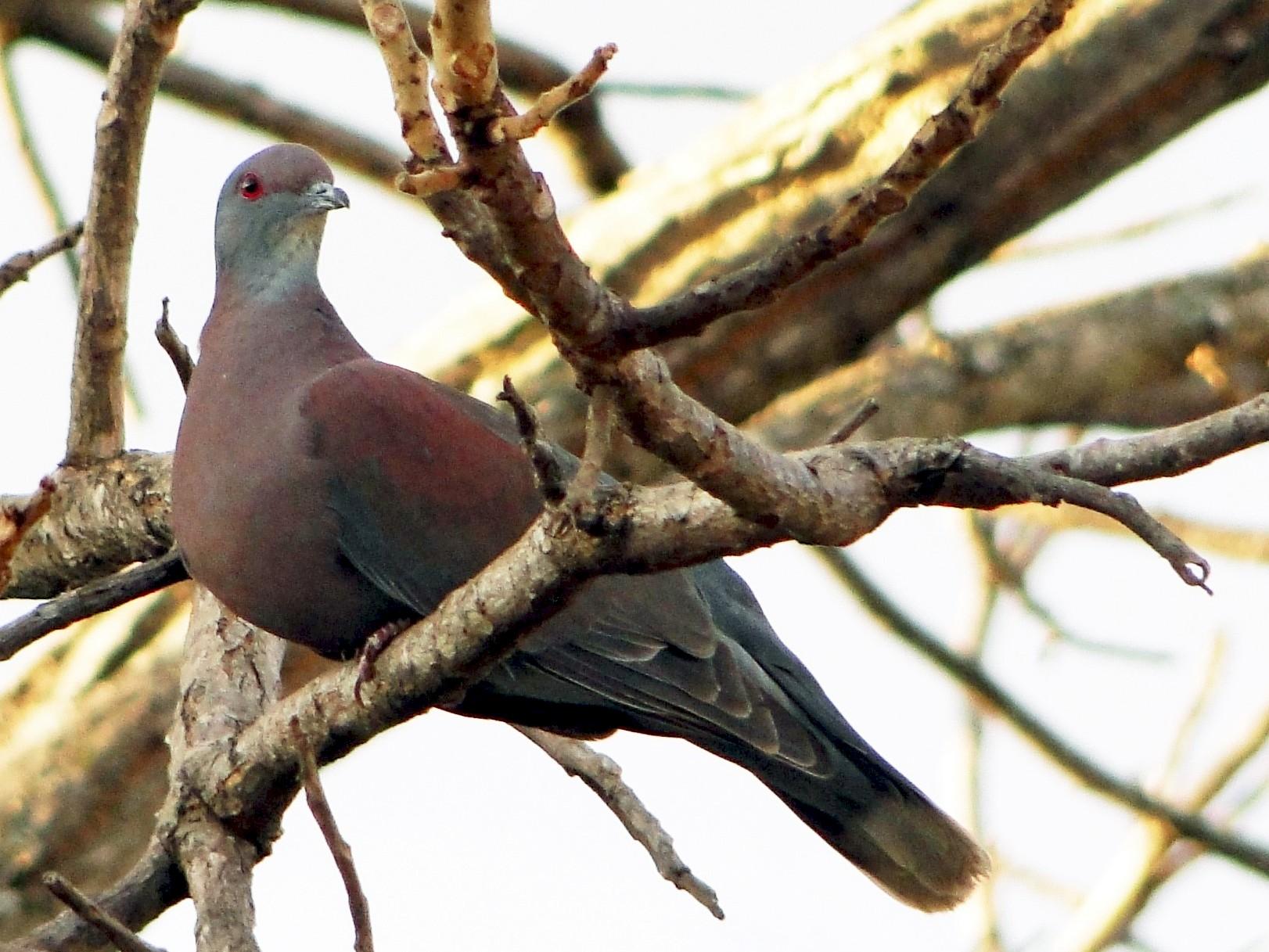 Pale-vented Pigeon - Carlos Gussoni
