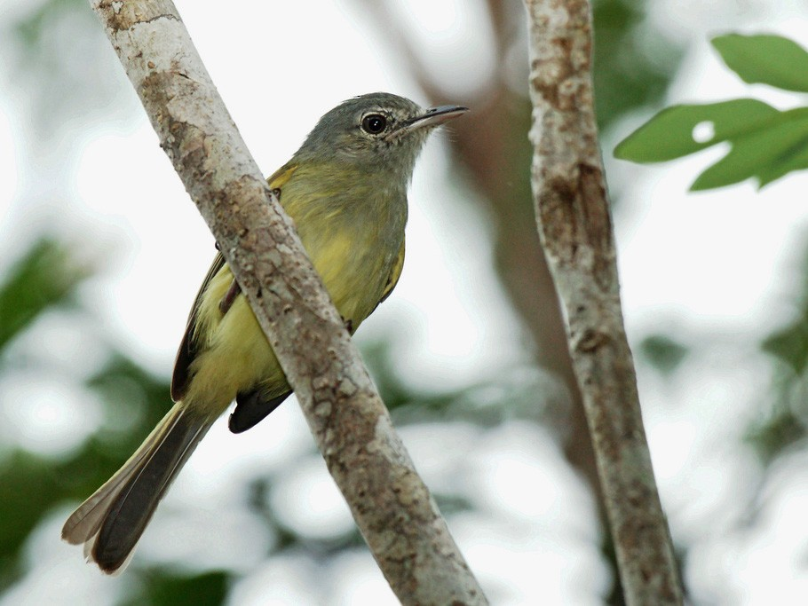 Greenish Elaenia - David Irving