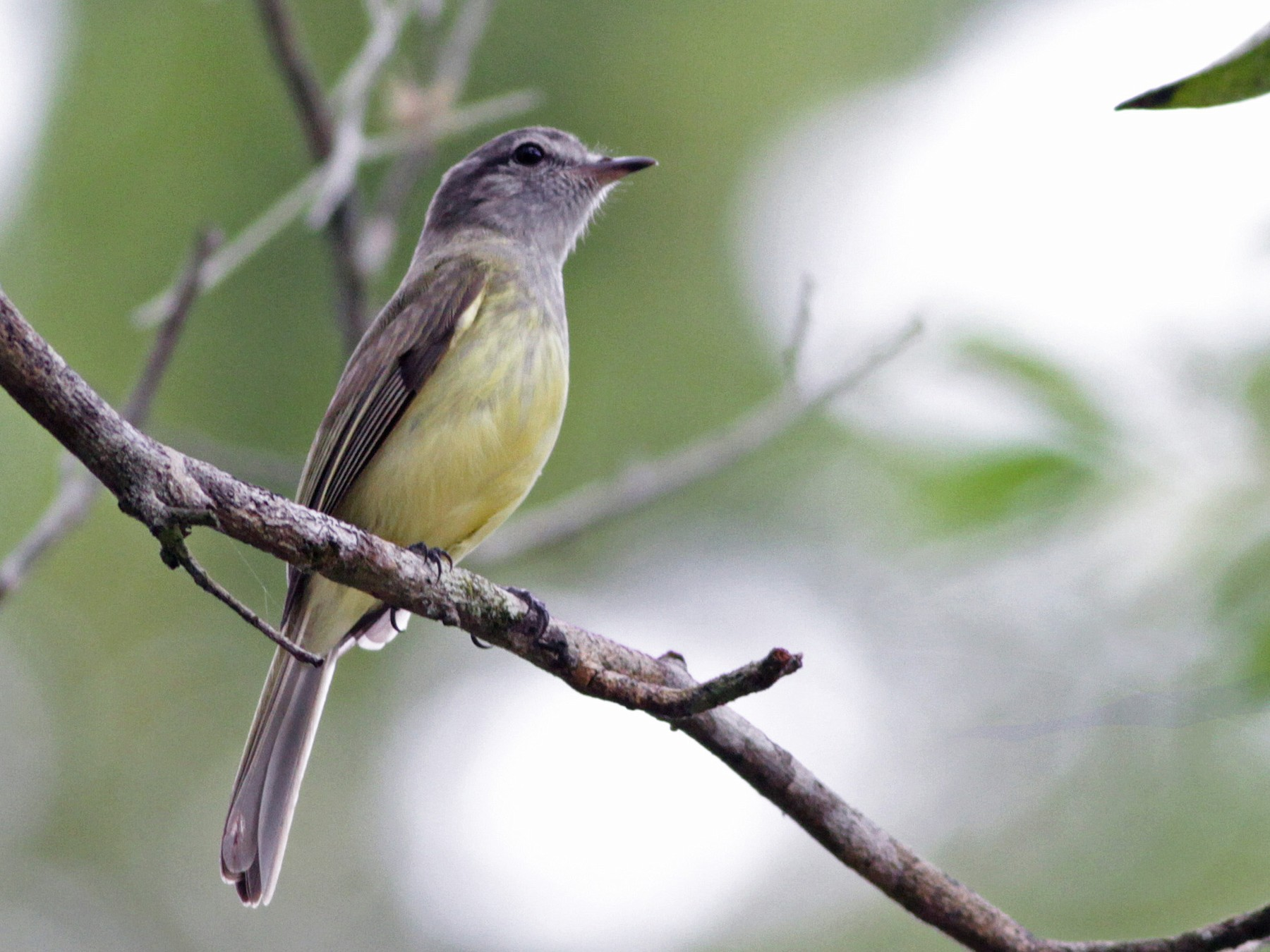Greenish Elaenia - Ian Davies