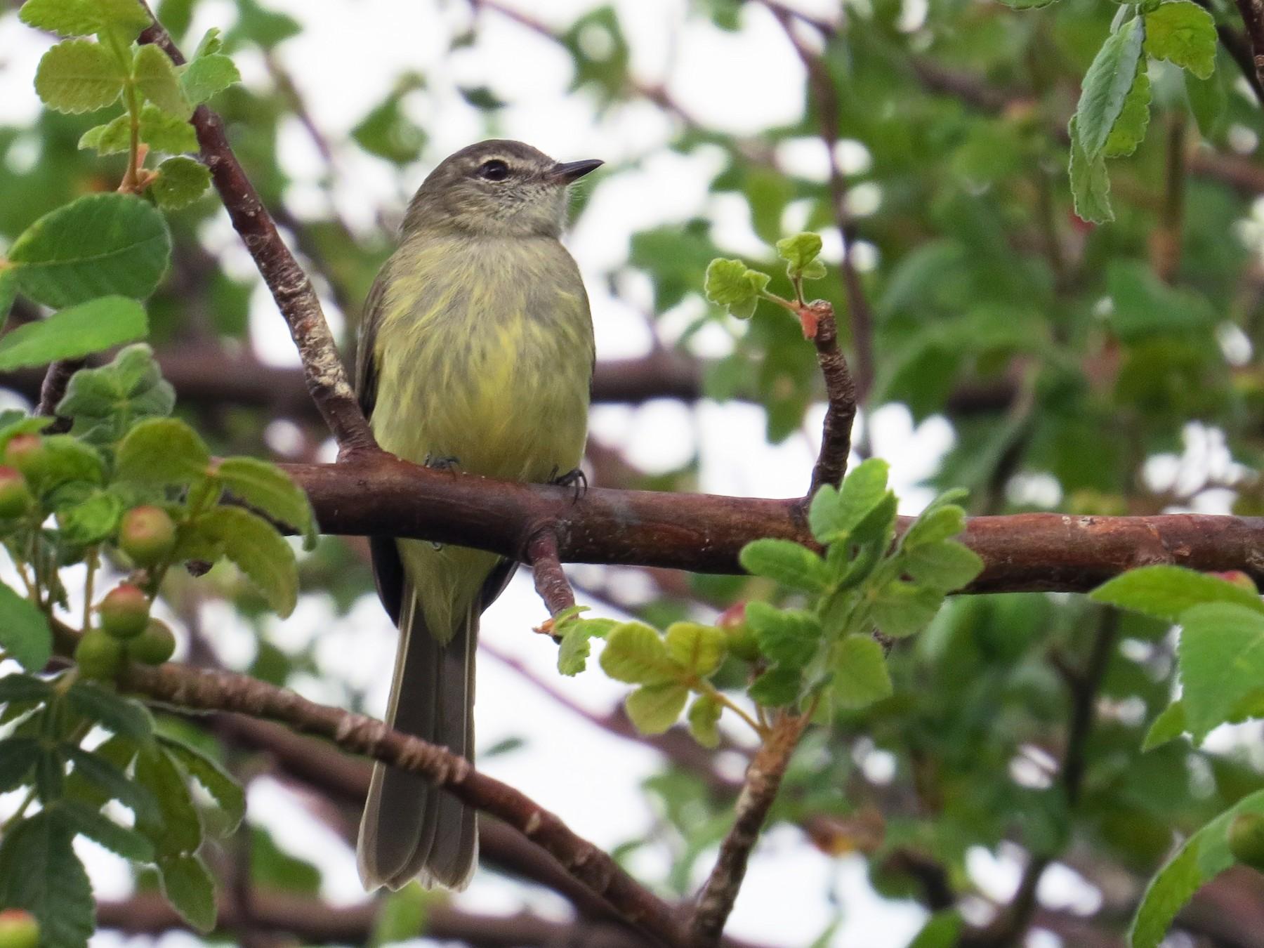 Greenish Elaenia - Jorge Muñoz García   CAQUETA BIRDING