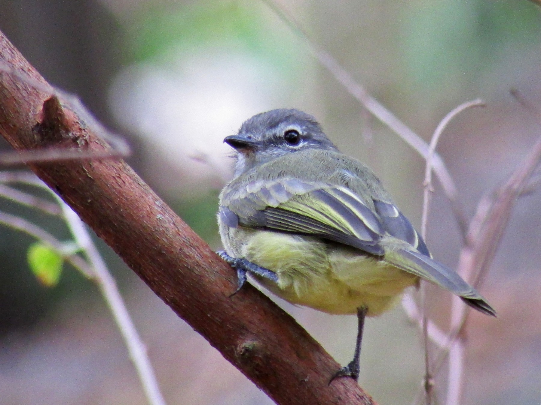 Greenish Elaenia - Benjamin Polanco