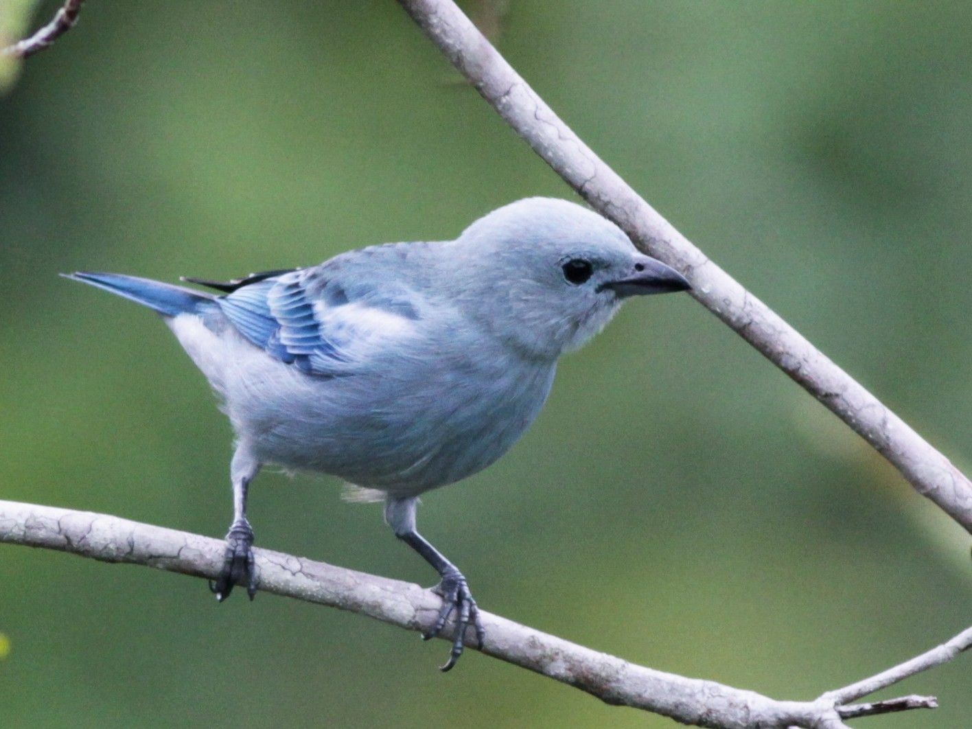 Blue-gray Tanager - Ian Davies