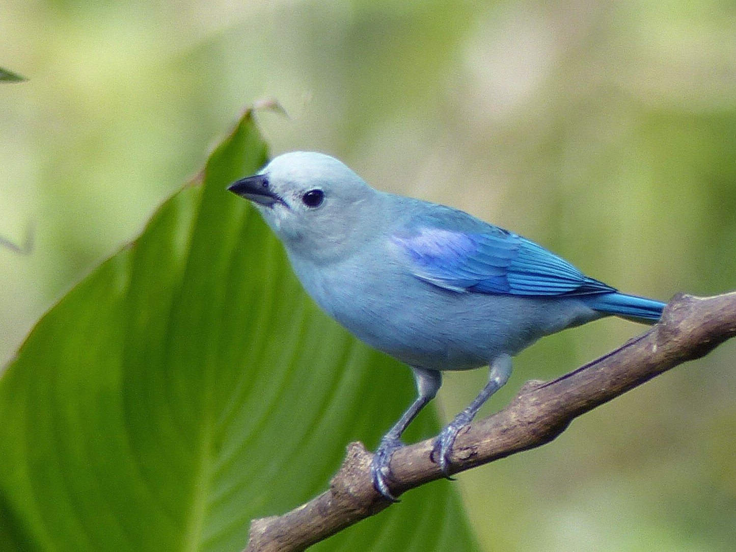 Blue-gray Tanager - Micheline Bisson