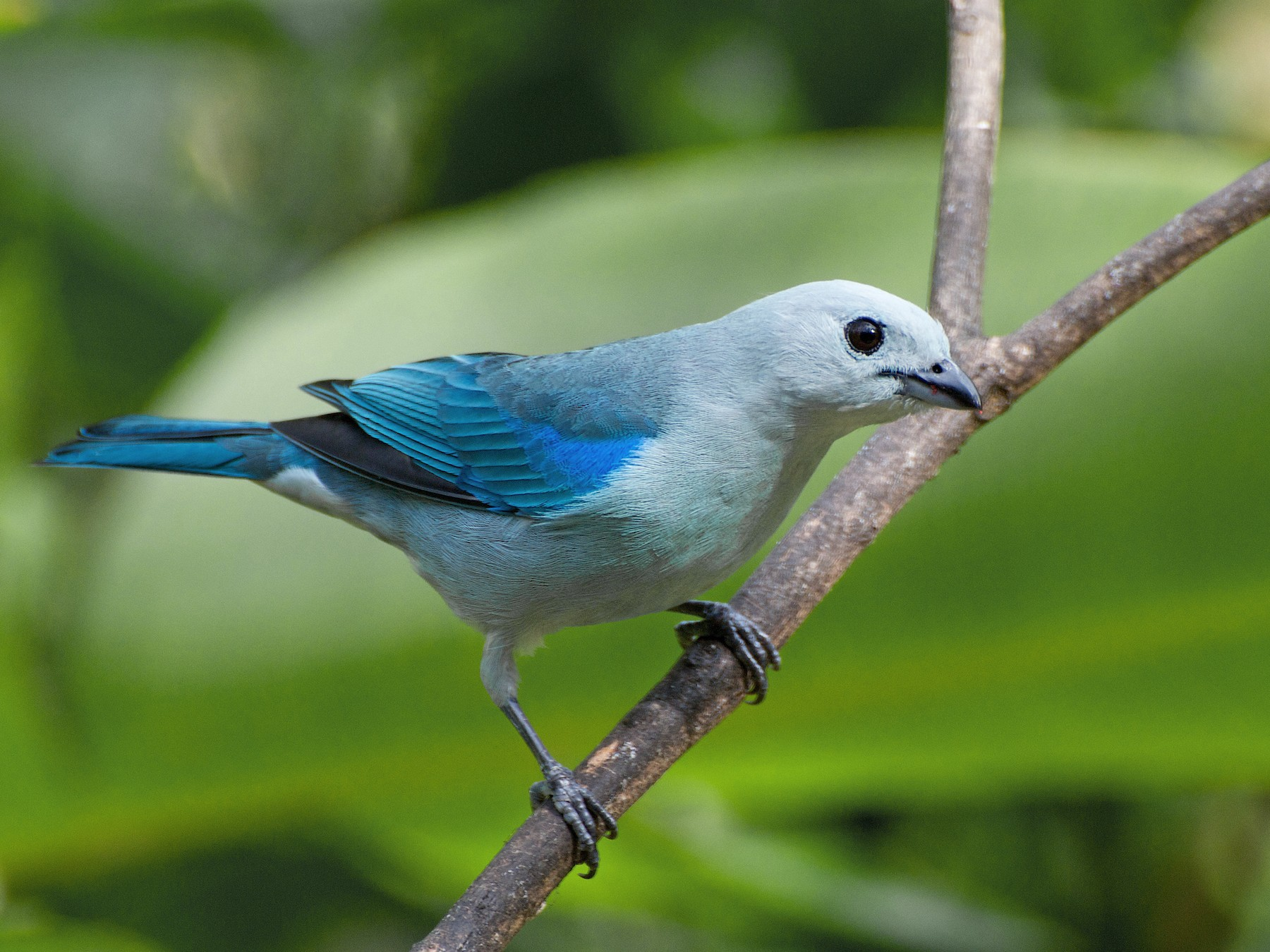 Blue-gray Tanager - Christian  Nunes