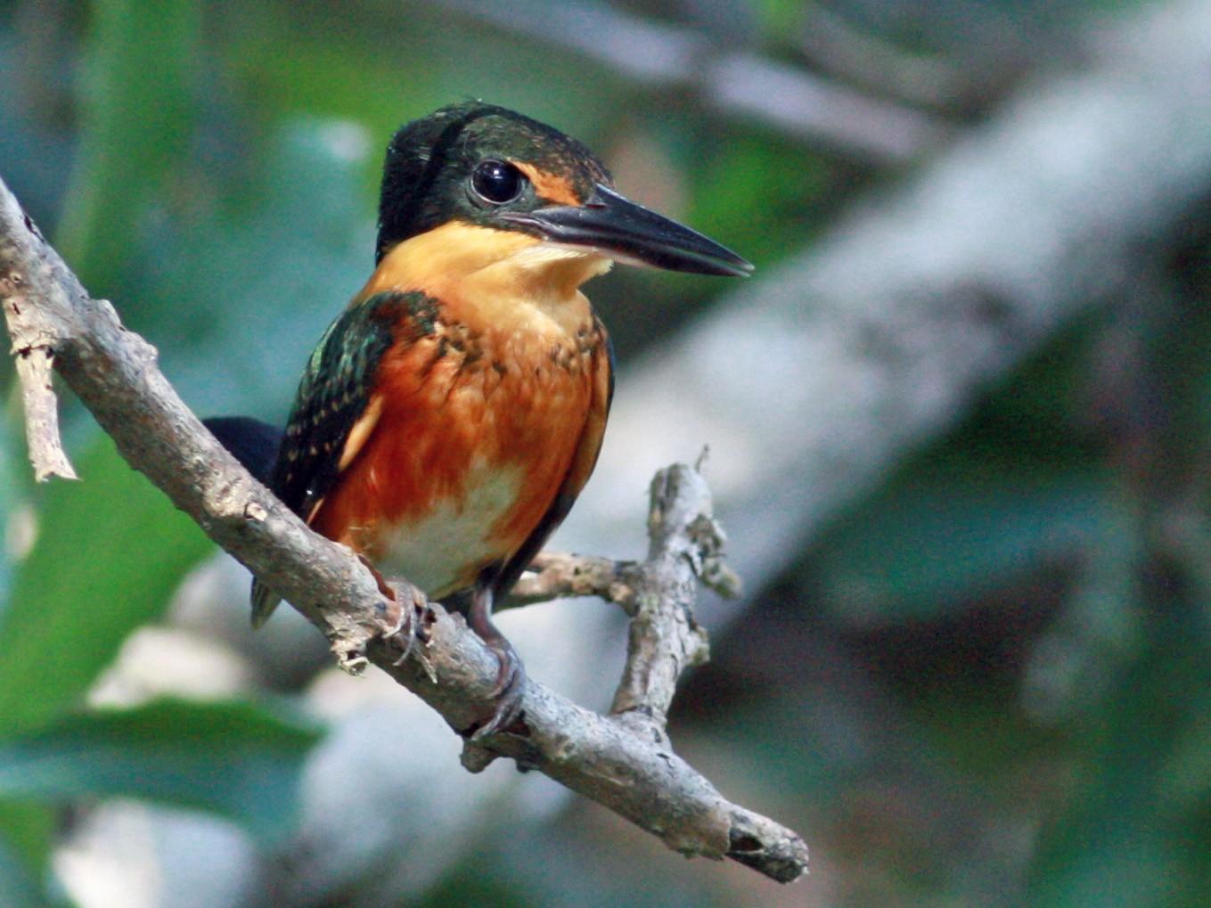 American Pygmy Kingfisher - Jay McGowan