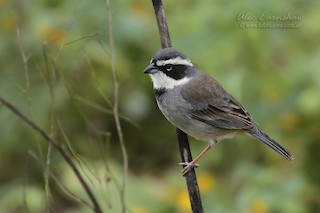 - Collared Warbling-Finch