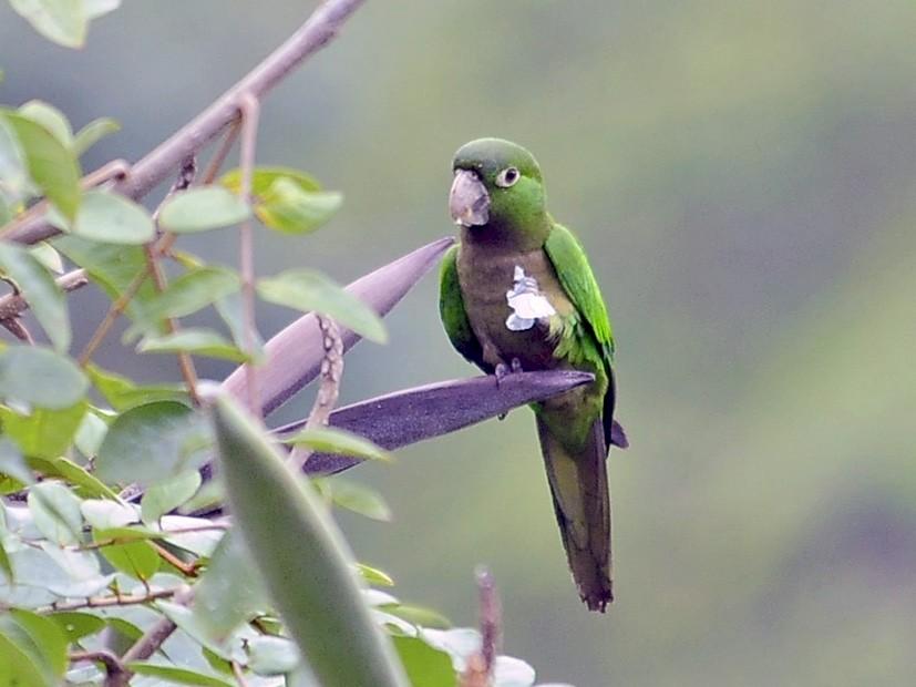 Olive-throated Parakeet - Kurt Hennige