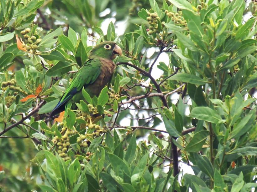 Olive-throated Parakeet - David Irving