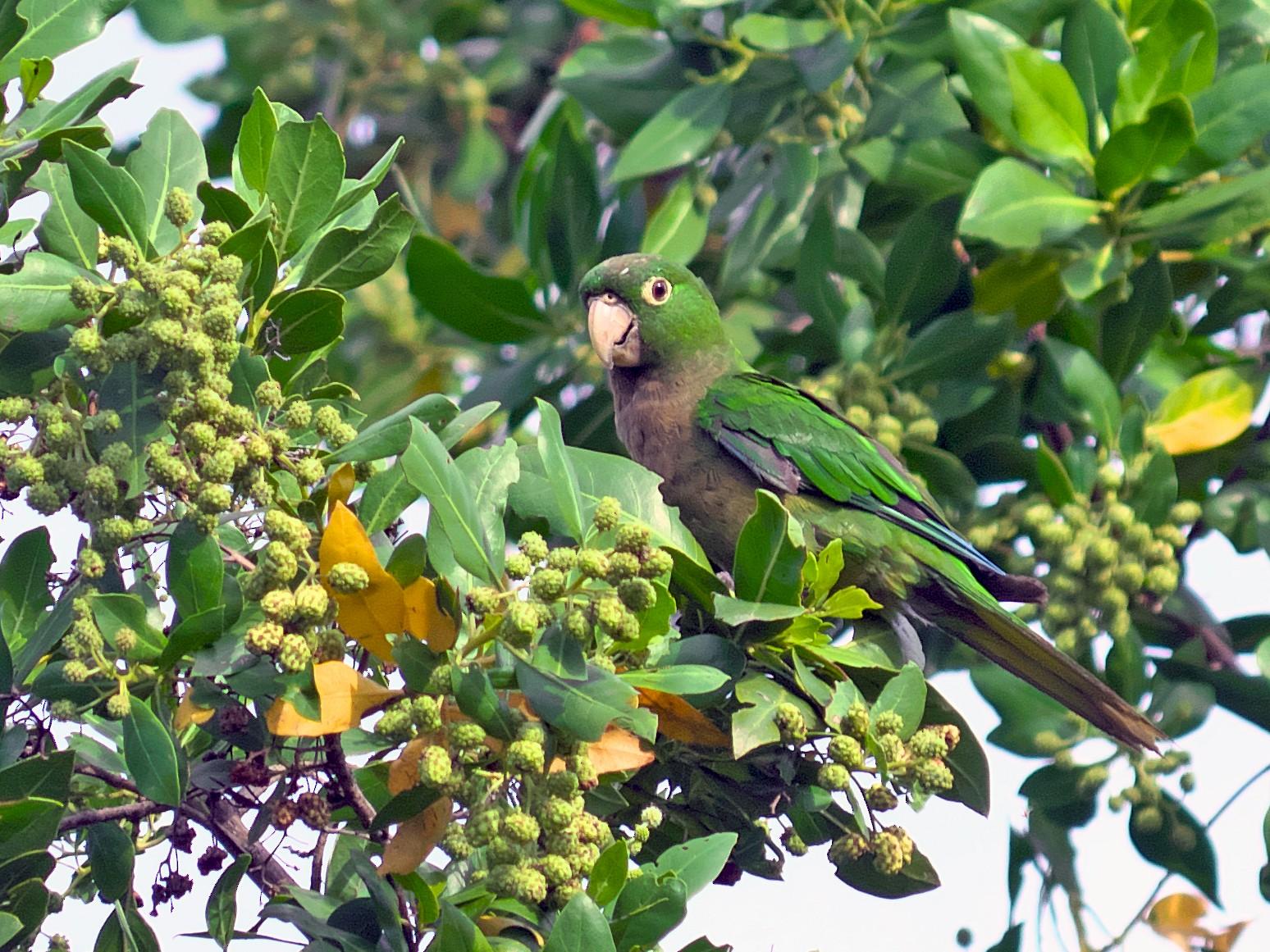 Olive-throated Parakeet - Paul Tavares