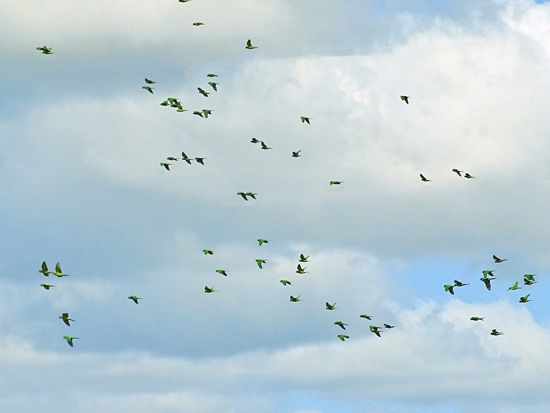 Olive-throated Parakeet - Alfonso Auerbach