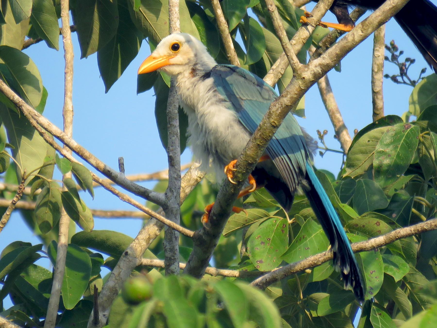 Yucatan Jay - Green Jay Mayan Birding