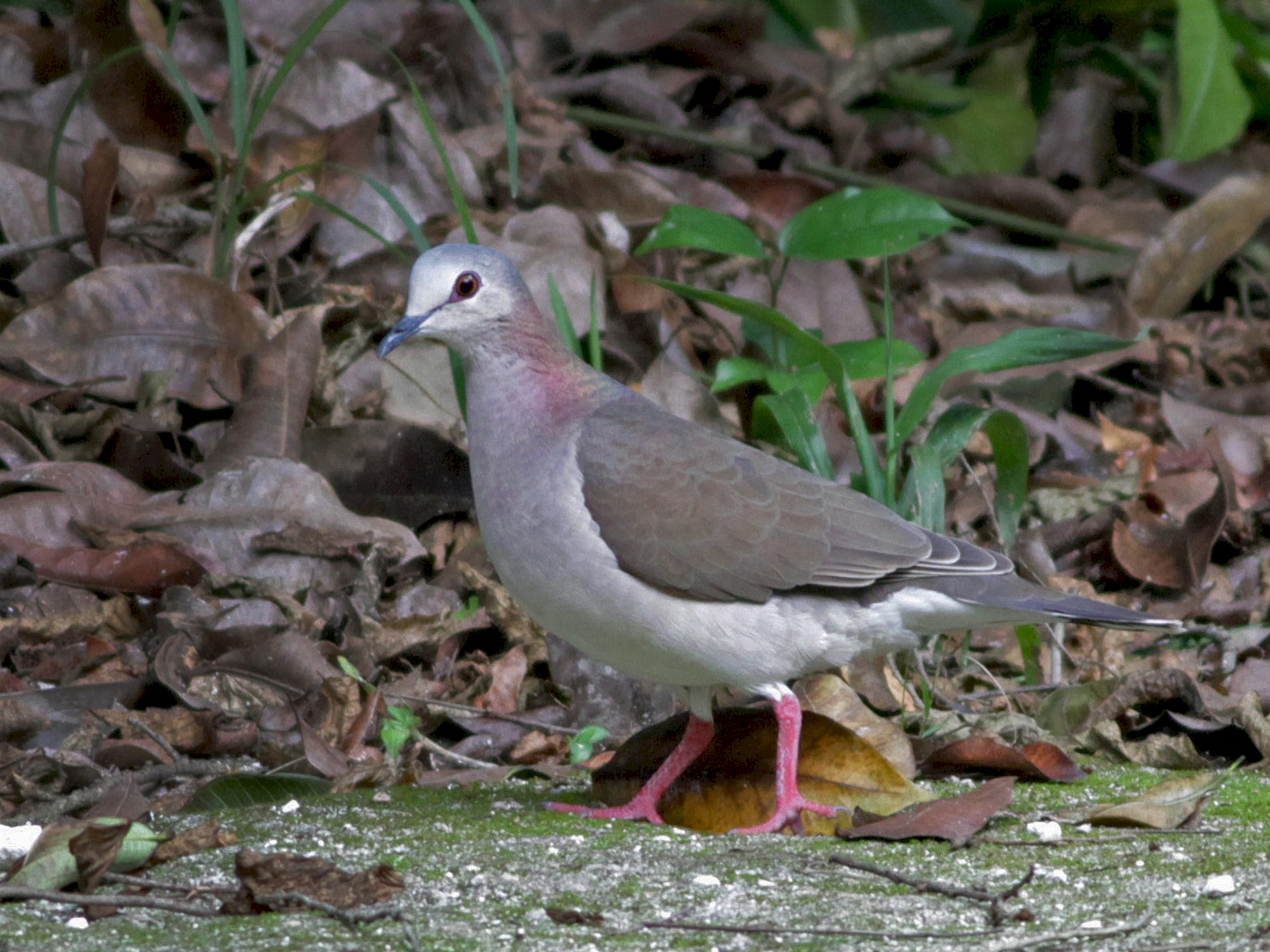 Caribbean Dove - Ian Davies