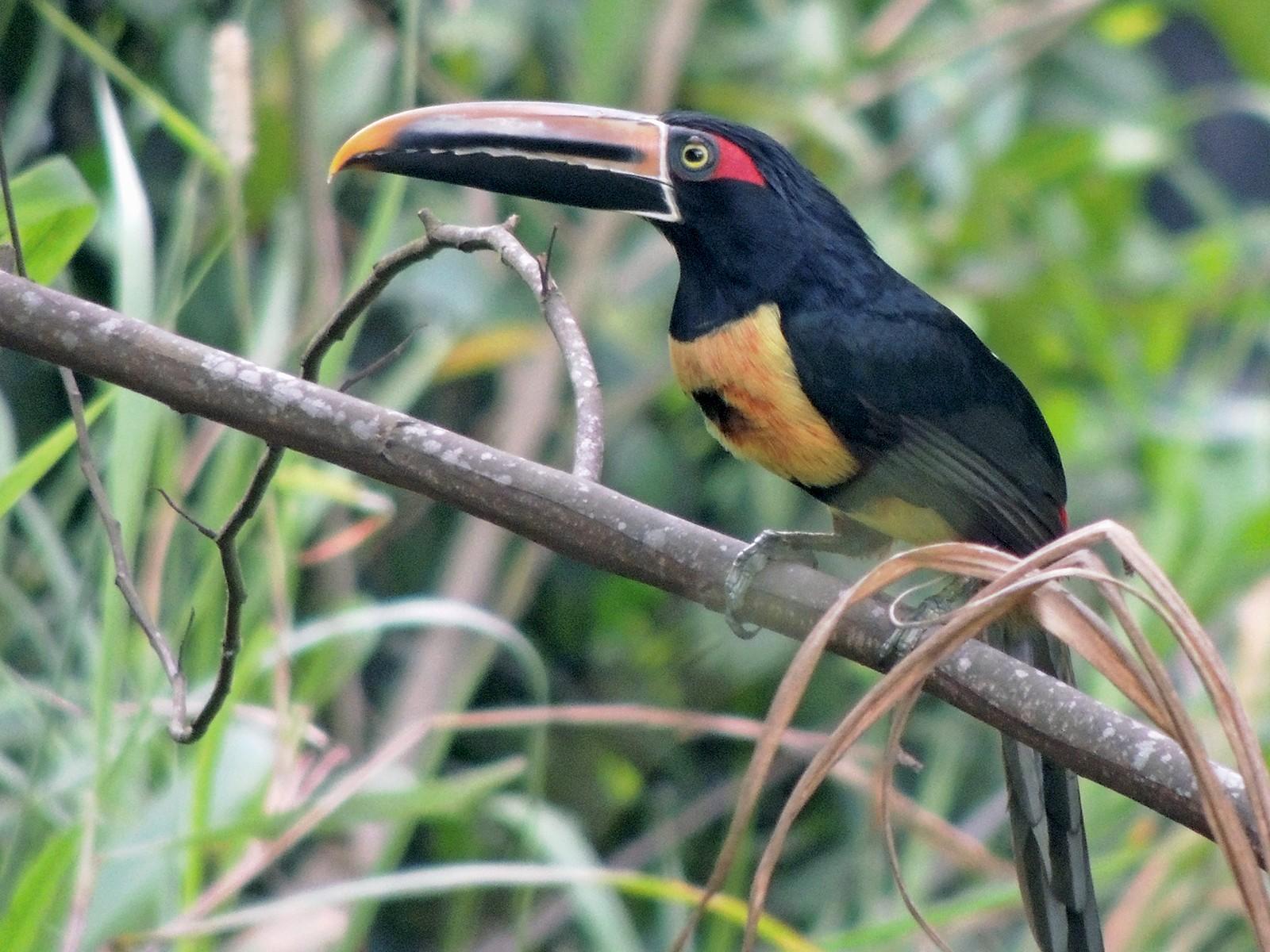 Collared Aracari - Ottavio Janni