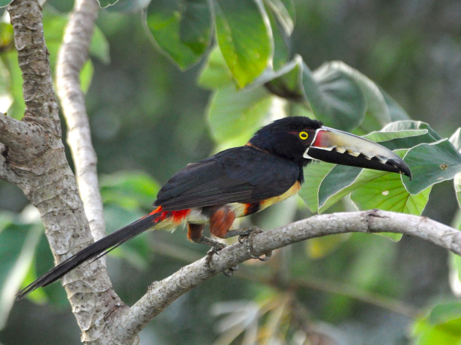 Collared Aracari - Adam Sell