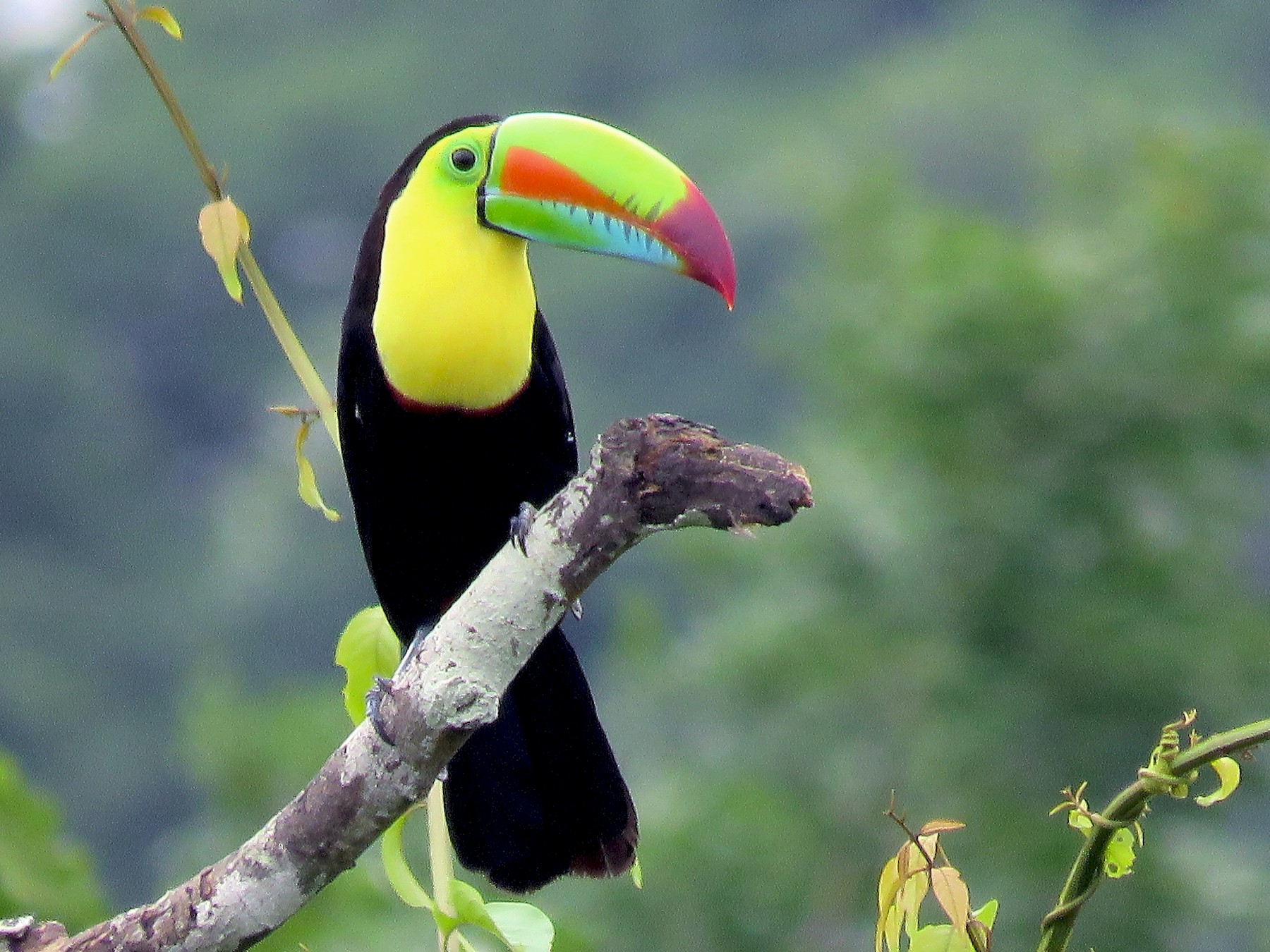 Keel-billed Toucan - Rolando Jordan