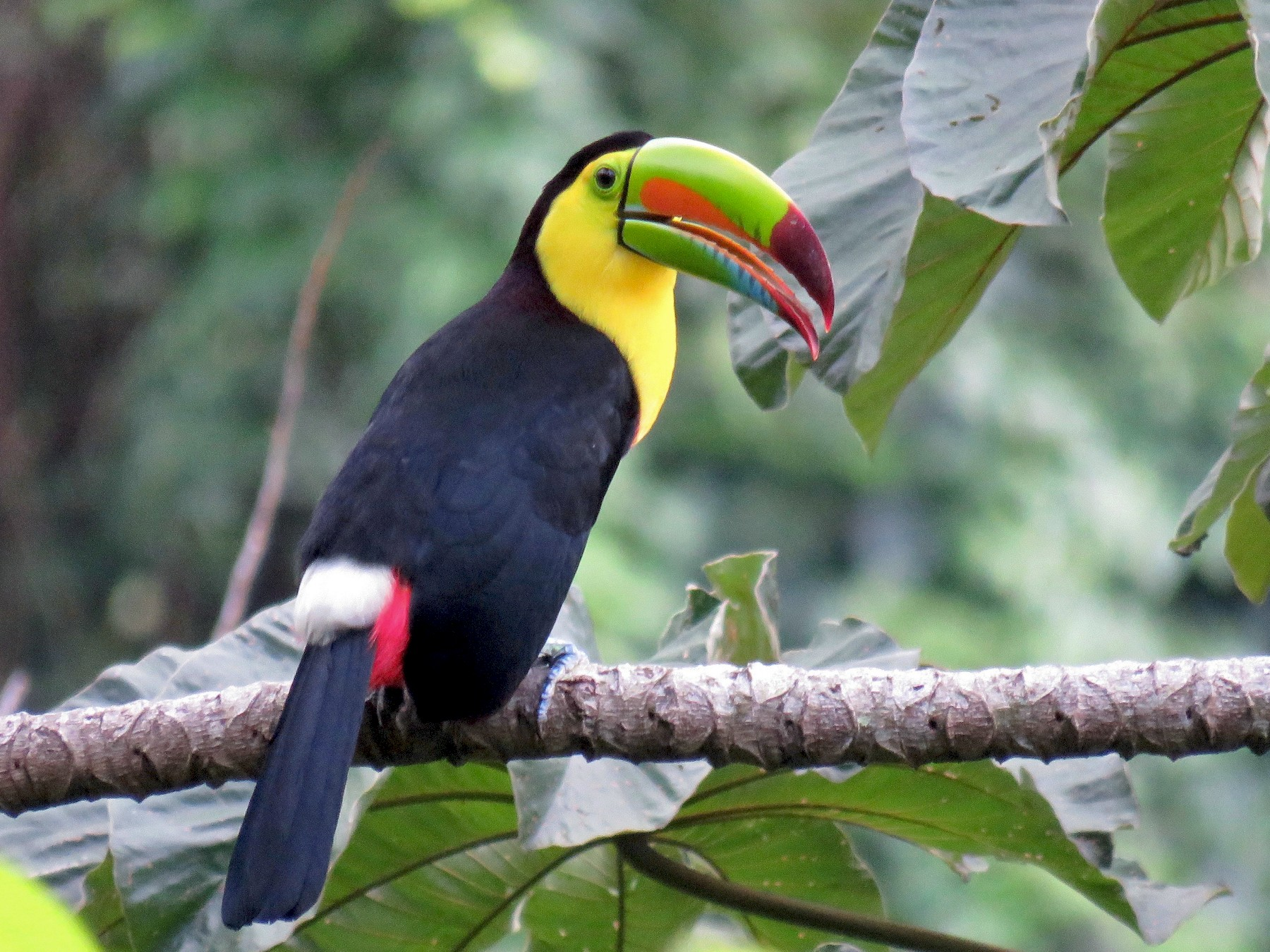 Keel-billed Toucan - John van Dort