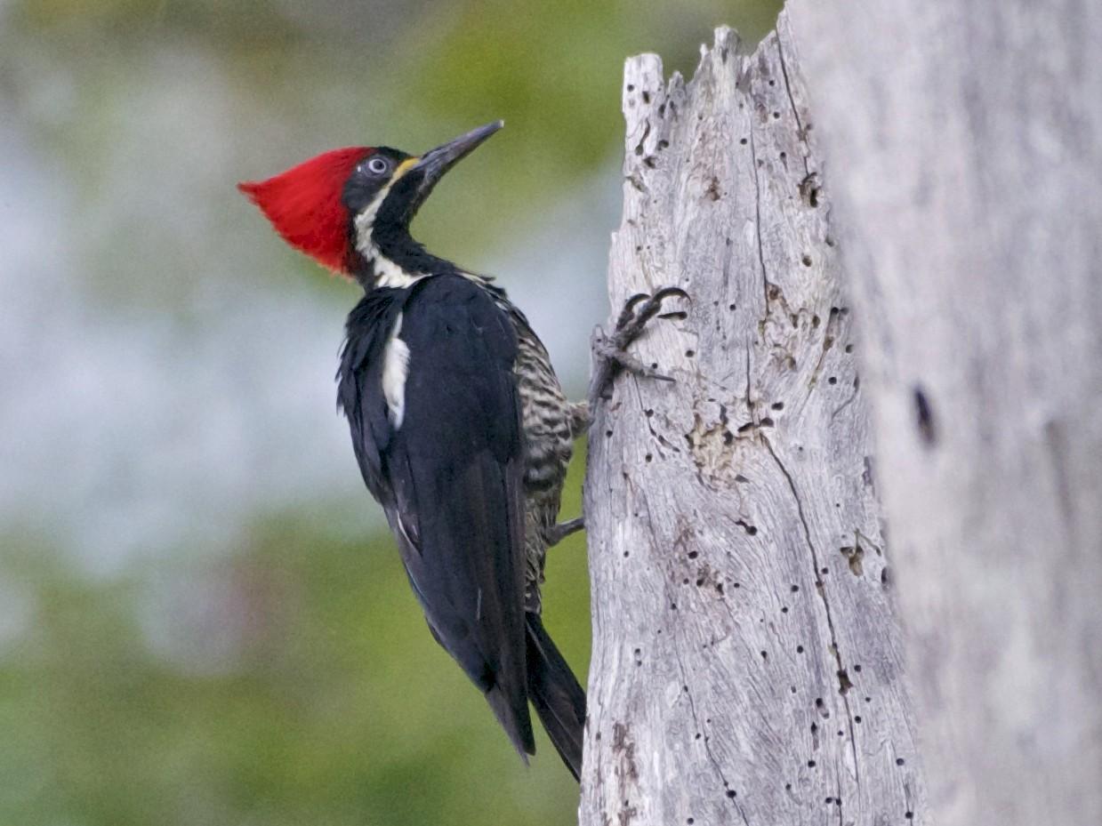 Lineated Woodpecker - Jan Cubilla