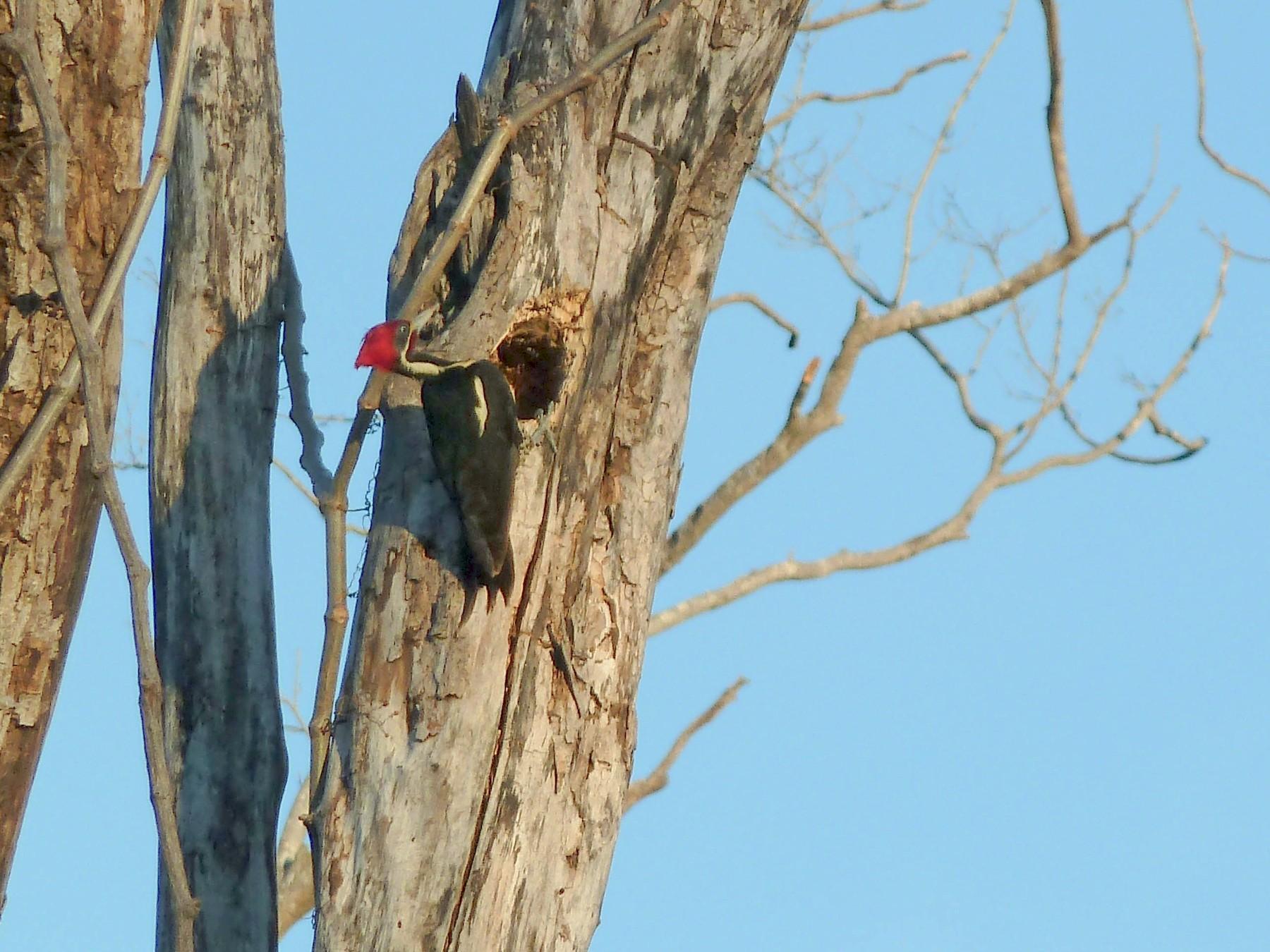 Lineated Woodpecker - Trip Thienemann
