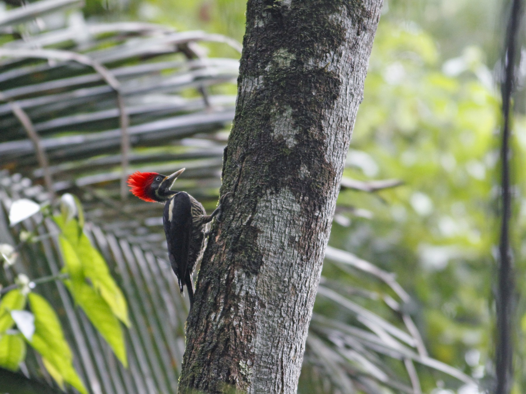 Lineated Woodpecker - John Fitzpatrick