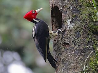 - Pale-billed Woodpecker