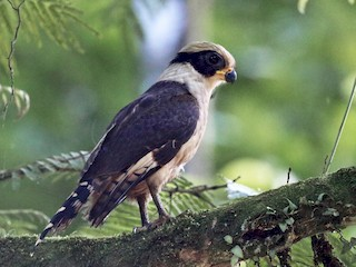- Laughing Falcon