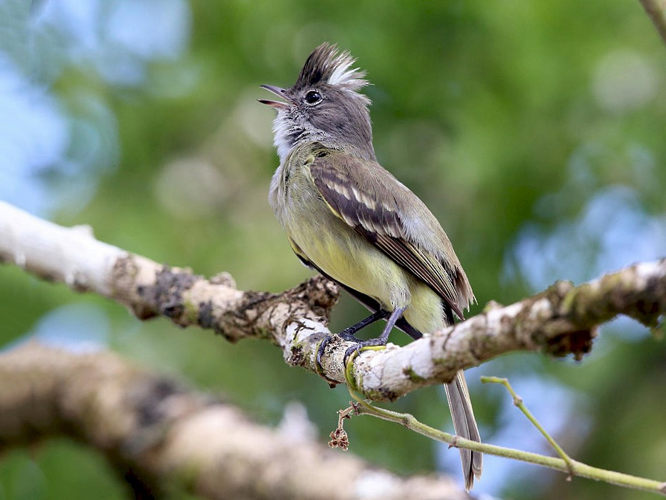 Yellow-bellied Elaenia - Tom Murray