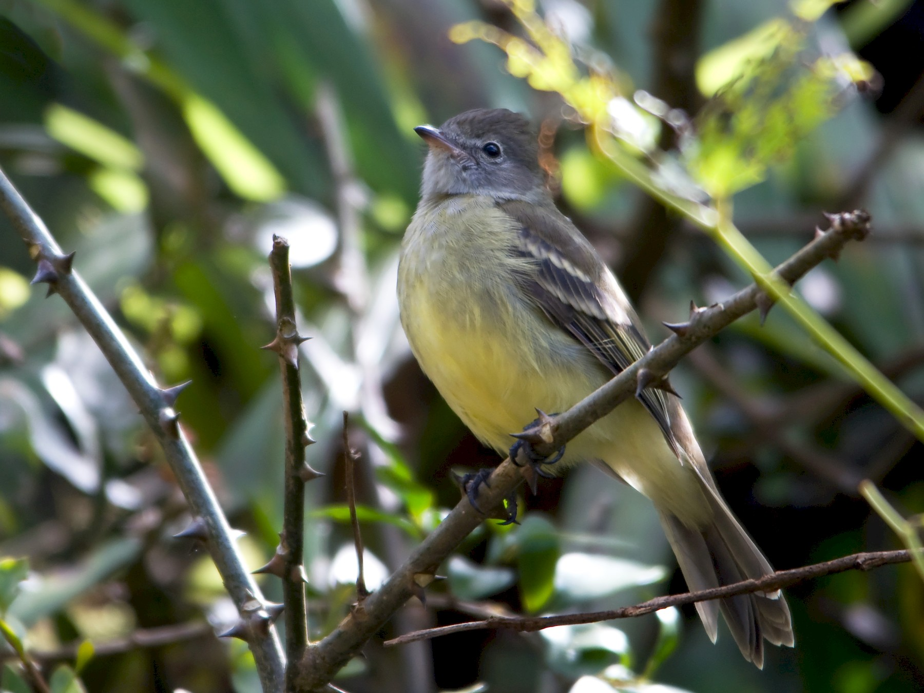 Yellow-bellied Elaenia - William Pixler