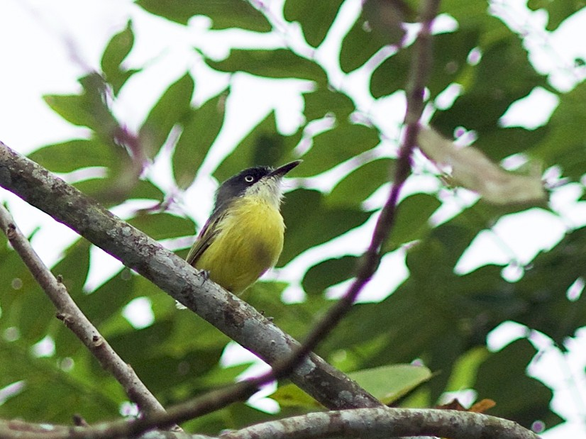 Common Tody-Flycatcher - Stanton Hunter