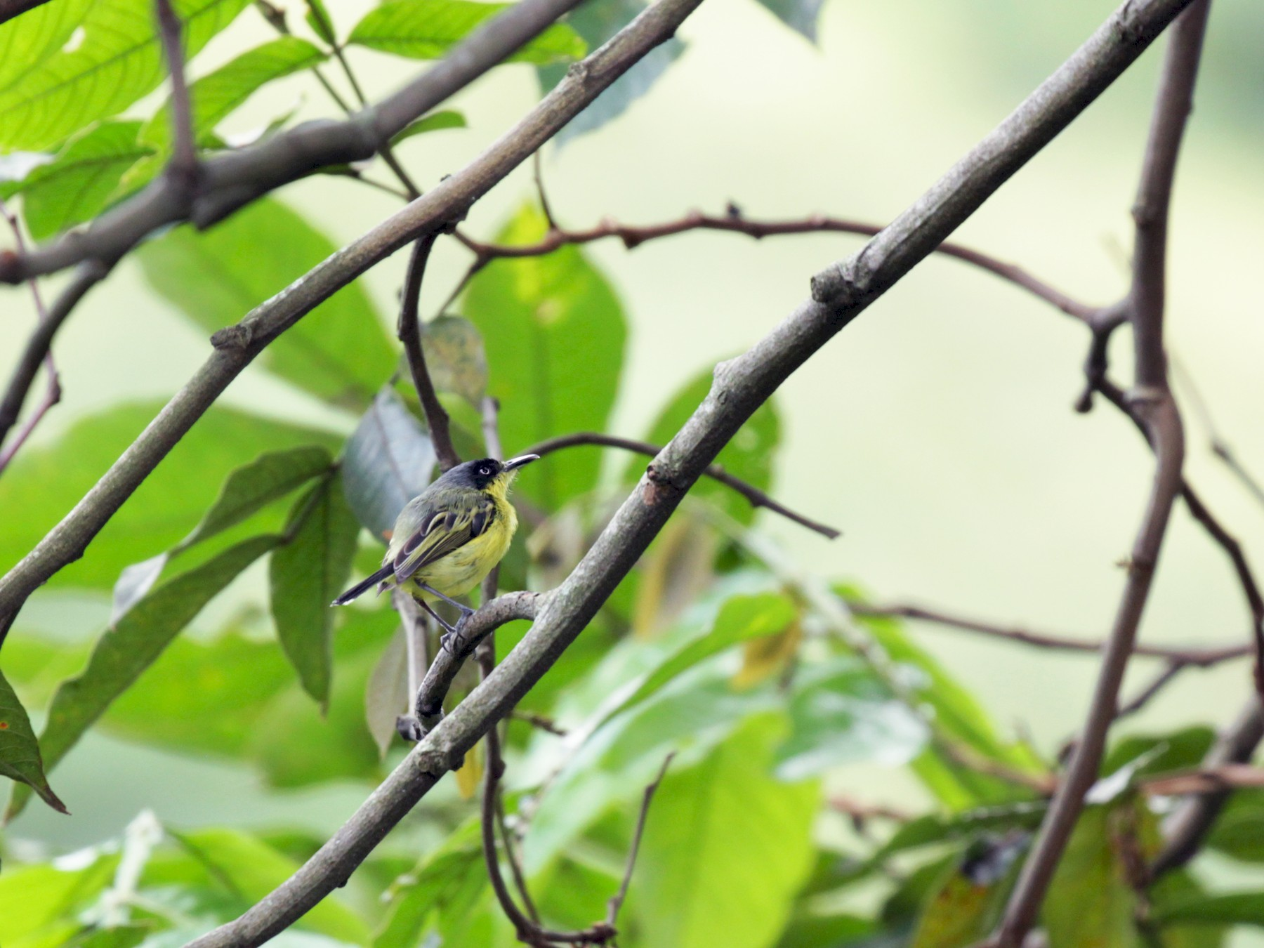 Common Tody-Flycatcher - Doug Korver